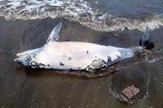 Lumba-lumba Terdampar di Bali, Ditemukan Mati dengan Sirip Terpotong dan Kulit Terkelupas