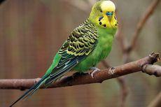 5 Burung Bersuara Merdu dan Bisa Menirukan Perkataan Manusia
