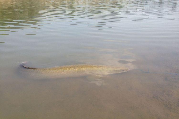 Ikan Araipama di Sungai Mlirip Mojokerto