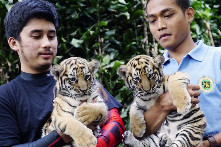 Alshad Ahmad (kiri) menjadi salah satu bapak angkat seekor anak Harimau Benggala berumur 41 hari yang diberinama Eshaan di kebun Binatang Bandung, Jawa Barat, Senin (7/8/2017). Pogram bapak angkat merupakan satu program Kebun Binatang Bandung untuk memberikan kesempatan kepada pencinta satwa untuk berperan dalam memelihara satwa. ANTARA FOTO/Agus Bebeng/aww/17.