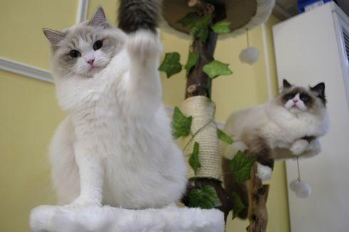 Pura-pura Hamil Ternyata Perempuan Ini Menyelundupkan Kucing