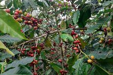 Uniknya Tradisi Minum Kopi Pahit Colol di Manggarai Timur