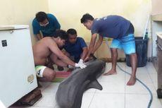 Lumba-lumba Peliharaan untuk Tontonan Tamu Hotel di Bali Ini Ditemukan Mati