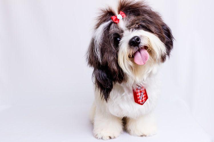 Ilustrasi ras anjing Shih tzu