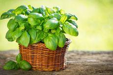 4 Manfaat Daun Kemangi untuk Kesehatan