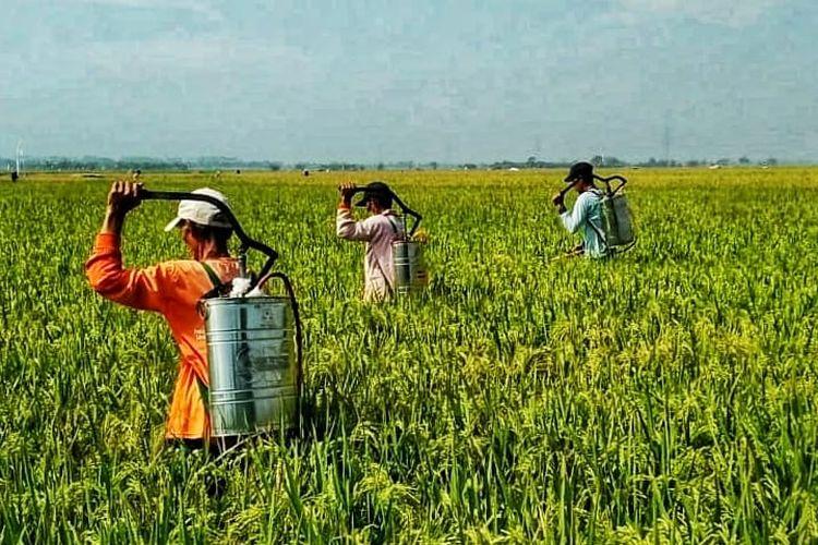 Petani sedang menyemprot pestisida untuk mencegah dan mengendalikan Serangan Organisme Pengganggu Tumbuhan.