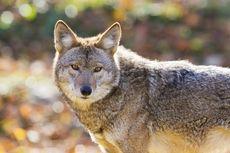 Serang Ibu dan Anak, Seekor Anjing Coyote Ditembak Mati