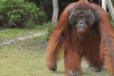 Melihat Kehidupan Orangutan di TN Tanjung Puting