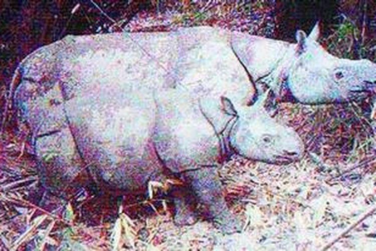 Seekor anak badak jantan tertangkap video kamera jebakan pada 1 Agustus 2012 saat melintas di hutan Taman Nasional Ujung Kulon, Banten. Ini hasil pemantauan badak jawa (Rhinoceros sondaicus) 2012 yang dilakukan Balai TNUK. Sebanyak enam anakan badak jawa baru tertangkap kamera.