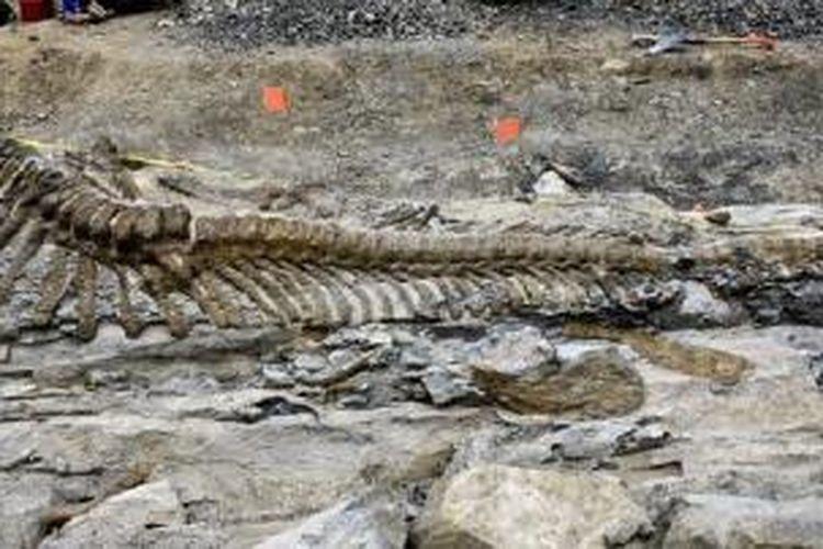 Ekor hadrosaurus ditemukan di Meksiko, panjangnya mencapai 5 meter.