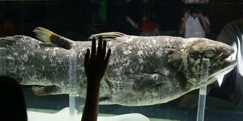 Apa Kabar Ikan Raja Laut Hewan Purba Di Laut Sulawesi Halaman All Kompas Com