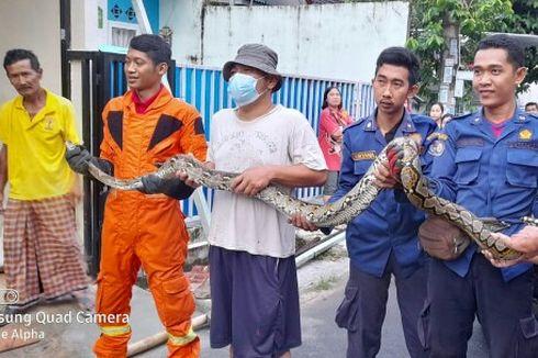 Damkar Tangkap Ular Sanca Batik 3 Meter yang Masuk Rumah Warga di Serpong