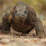 Komodo Terancam Punah, Pemerintah Harus Sikapi Secara Serius