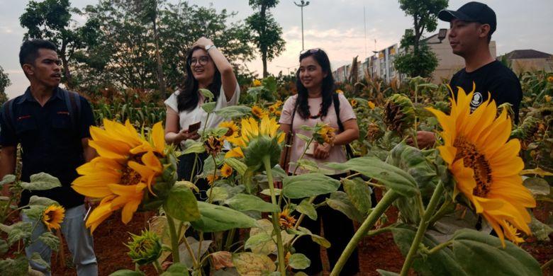 Menikmati Matahari Terbenam Di Kebun Bunga Matahari Serpong Halaman All Kompas Com