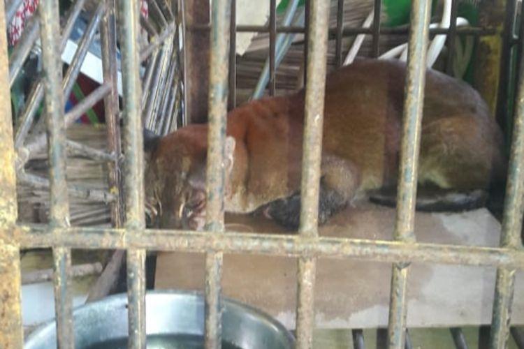 Sempat kondisinya membaik, akhirnya kucing emas langka yang ditemukan warga Agam akhirnya mati, Kamis (17/6/2020)