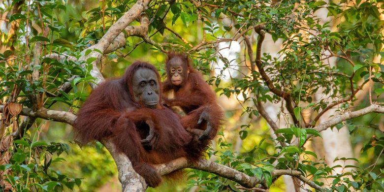 Ilustrasi orangutan.