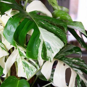 Ilustrasi tanaman hias Monstera variegata