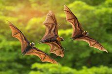 Kelelawar Inang Virus SARS, Hendra hingga Covid-19, Ahli Peringatkan