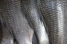Sisik Ikan Bisa Jadi Obat Luka