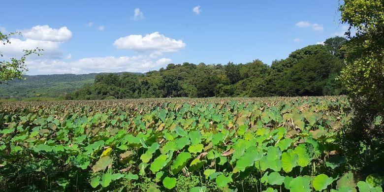 Hamparan bunga teratai di Danau Teratai atau Rana Tonjong, Manggarai Timur.