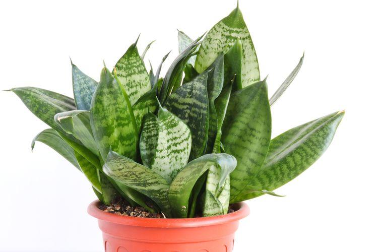 Sansevieria trifasciata Hahnii, salah satu jenis tanaman lidah mertua.