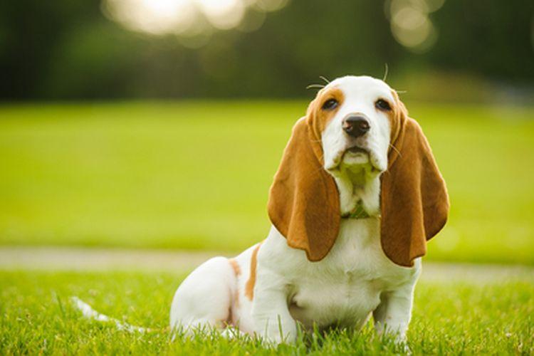 Ilustrasi anjing basset hound