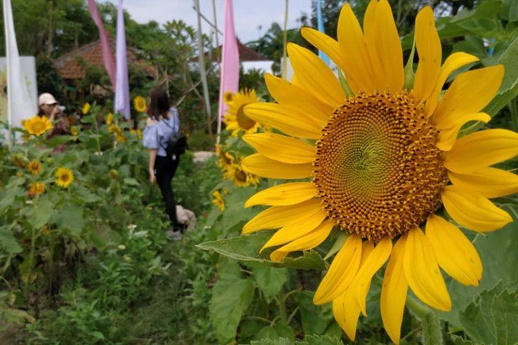 Hamparan bunga matahari di Narmada Botanic Garden, jadi tempat foto favorit pengunjung.