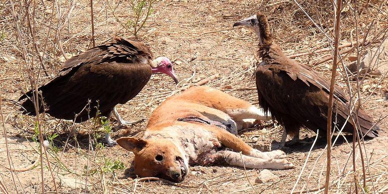 Ilustrasi Burung bangkai memakan bangkai anjing.