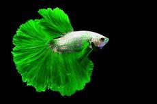 Simak, Cara Membedakan Ikan Cupang Jantan dan Betina