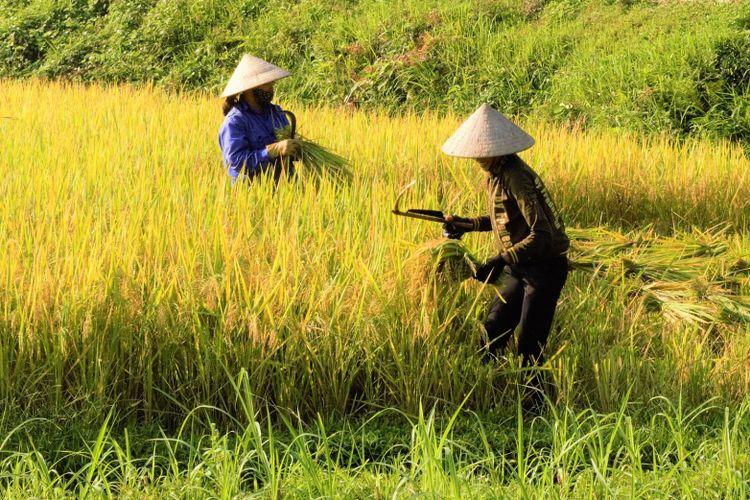 Ilustrasi padi