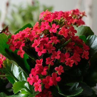 Descripción de la planta ornamental Calancho plasfeldiana o Katie ardiente.