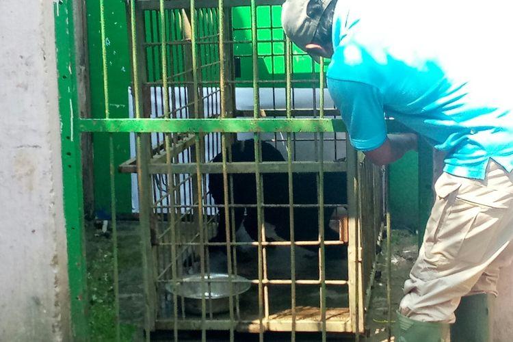 Salah satu keeper Bandung Zoo tengah memperlihatkan Macan Kumbang yang ditangkap Di Subang, karena masuk pemukiman warga.