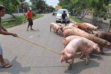 Kasus Babi Mati di Sumut karena Virus: Ada Sisa Makanan dari Kapal dan Pesawat untuk Pakan