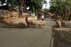 Babi di Kapuk Jakbar Jalan dari Kandang ke Rumah Potong, Dharma Jaya Janji Siapkan Truk
