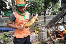 Petugas UPK Badan Air Temukan Ikan Arwana di Kali Item, Ditawar hingga Rp 8 Juta