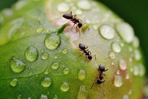 Pestisida Alami yang Bisa Usir Semut Pengganggu Tanaman