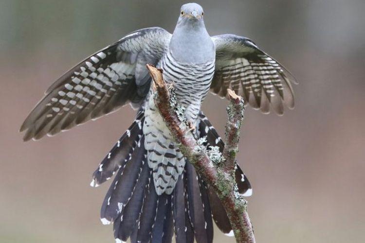 Burung cuckoo (Cuculus canorus), terbang sejauh 12.000 kilometer dari Afrika bagian selatan ke Mongolia. Perjalanannya dipantau satelit.