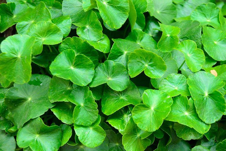 Ilustrasi centella asiatica atau daun pegagan atau gotu kola.