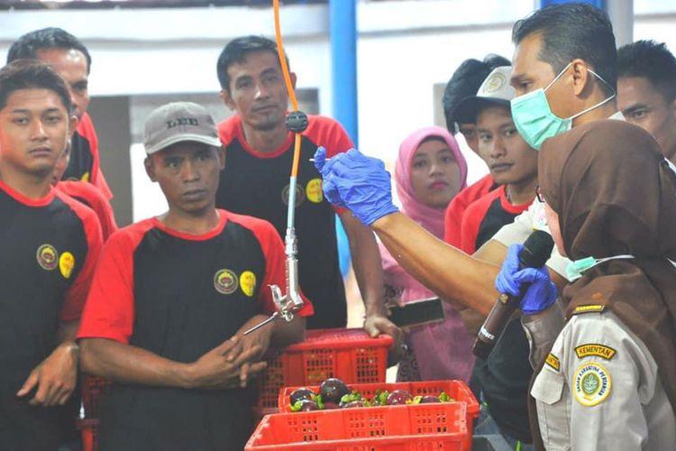 Pemeriksaan buah manggis.