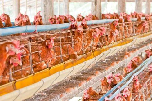 Jumlah Peternak Ayam Rakyat di Indonesia Terus Turun, Ini Sebabnya