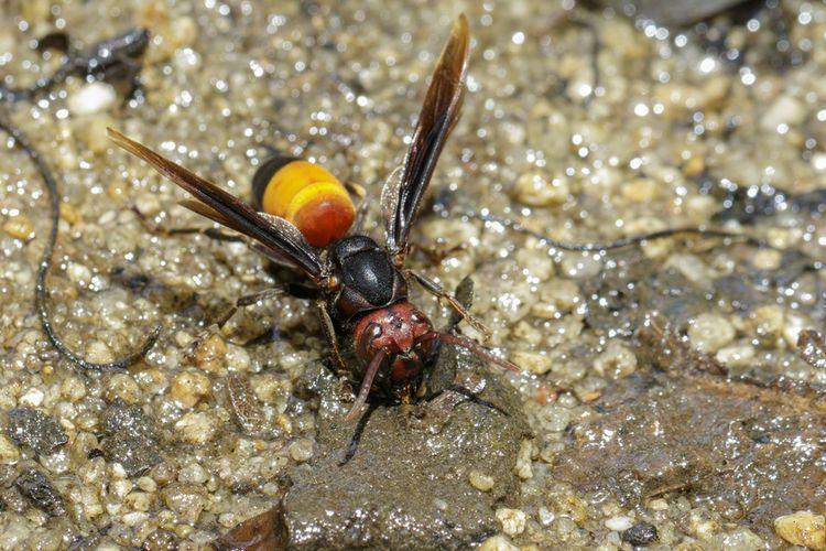 Ilustrasi tawon ndas atau Vespa affinis