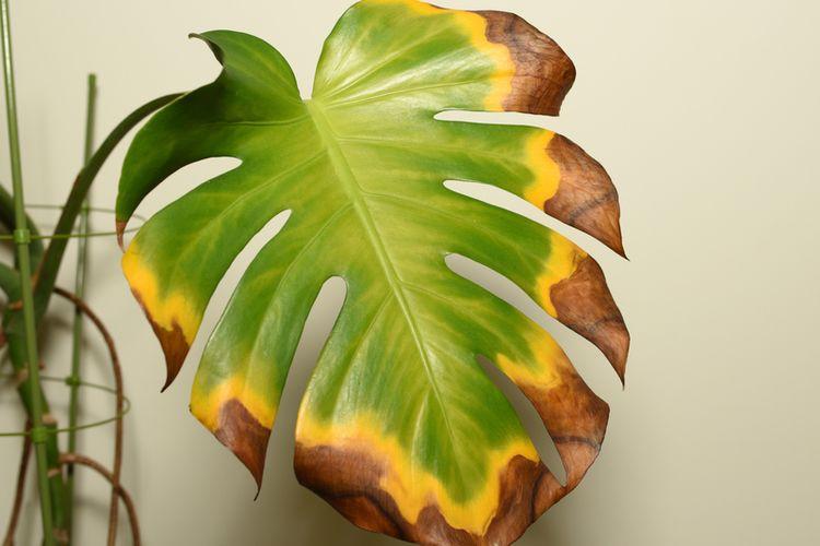 Ilustrasi daun tanaman menguning dan ujungnya kecokelatan.