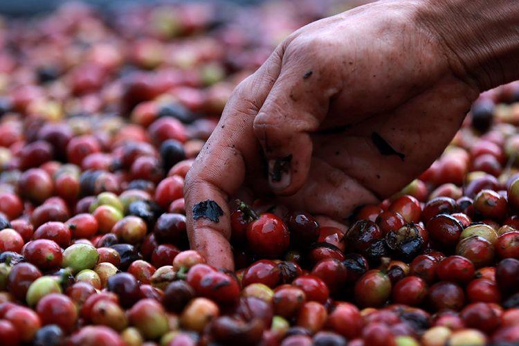 Foto dirilis Selasa (16/3/2021), memperlihatkan petani membersihkan biji kopi arabika Gayo yang baru dipanen sebelum proses penjemuran di Takengon, Aceh Tengah, Aceh. Pandemi Covid-19 yang juga telah merambah dataran tinggi Gayo di Aceh tidak menyurutkan semangat para petani kopi arabika di daerah itu untuk terus meningkatkan produksi yang permintaannya kembali meningkat di pasar internasional.
