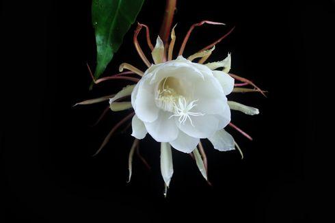 Karakteristik dan Mitos Bunga Wijaya Kusuma yang Sedang Tren