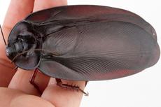Megaloblatta Longipennis, Kecoa Terbesar di Dunia