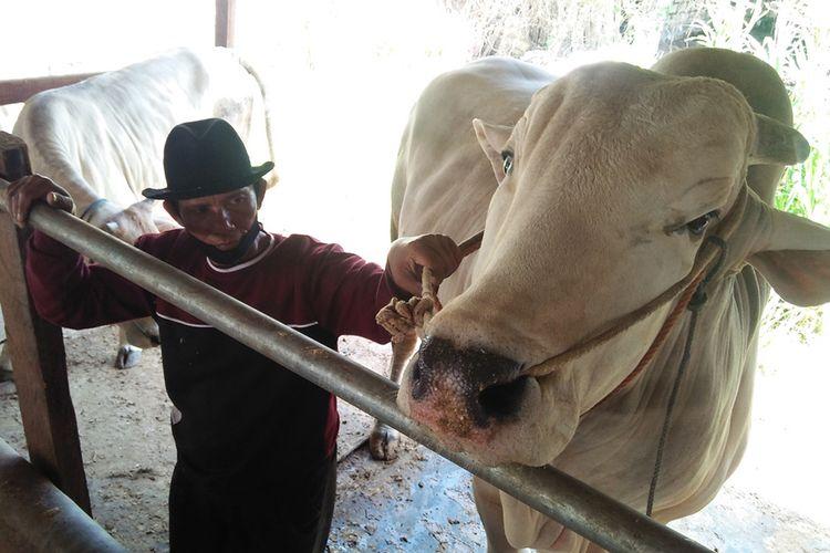 Muhammad Sholeh bersama sapi miliknya yang dibeli Presiden Joko Widodo, saat ditemui di kandang sapi miliknya di Desa Campurejo, Kecamatan Panceng, Gresik, Jawa Timur, Kamis (23/7/2020). Presiden Jokowi memilih sapi dengan bobot 1,04 ton itu untuk kurban dan akan diserahkan ke Masjid Al Akbar, Surabaya, pada Hari Raya Idul Adha.
