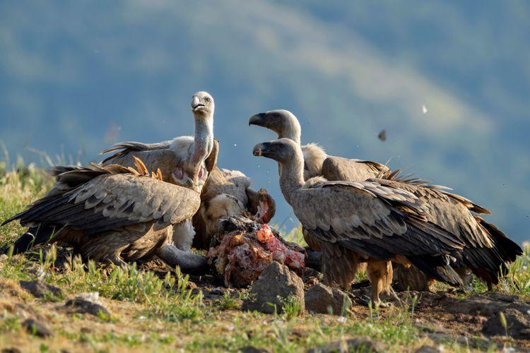 Spesies Burung Bangkai Ini Diambang Kepunahan Apa Dampaknya Halaman All Kompas Com