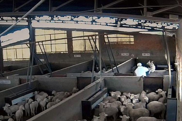 Tangkapan layar dari video CCTV yang menunjukkan penyiksaan domba-domba di Tempat Pemotongan Hewan (TPH) Toledo, Spanyol.