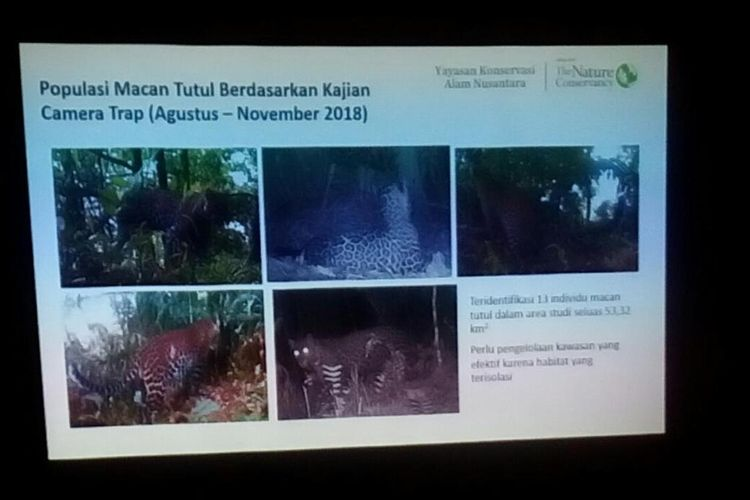 Macan tutul di kawasan hutan pegunungan Muria, Jawa Tengah