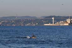 Dampak Virus Corona, Lumba-lumba Berenang Bebas di Selat Bosphorus Turki